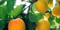 میوه ای پرفایده تر از هویج برای چشم