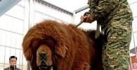 عکس: سگی به اندازه یک شیر!
