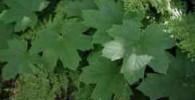 گیاهی برای مقابله با بوی بد دهان