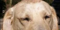 عکس جوجه غاز یتیمی که تحت مراقبت یک سگ قرار گرفت!