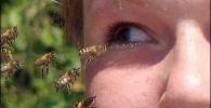 تصاویر زنبوری در تایلند که از اشک چشم انسان تغذیه میکند!