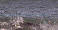 تصاویری از کمک دلفین ها به ماهیگران برای ماهیگیری