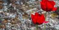 گزارش تصویری از دشت شقایق در دامنه قله دماوند