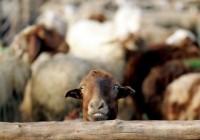 اخطار حمله گرگ با ارسال پیامک به چوپان توسط گوسفندان
