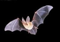خفاش ها چطور در تاريكی می بينند؟!