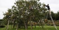 عکسی از درختی با 250 نوع سیب متفاوت