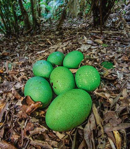 تصاویر شتر مرغ نمای تخم سبز