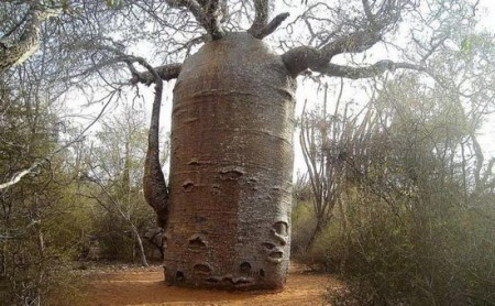 عکس هایی از ظاهر عجیب یک درخت