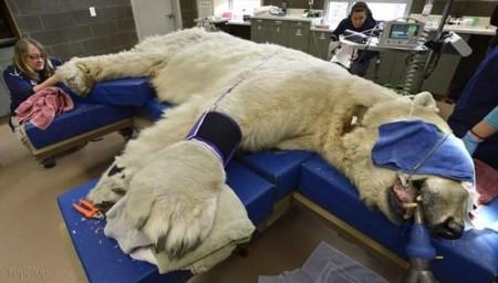 تصاویر خرس قطبی وقتی به دندانپزشکی میرود