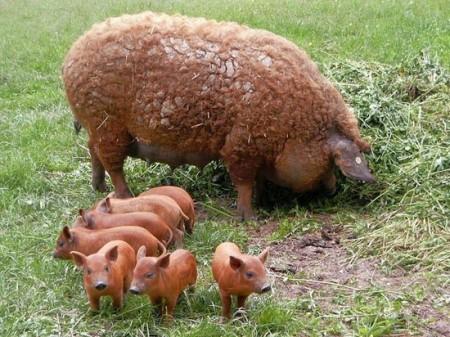 تصاویر جالب از خوک گوسفندی