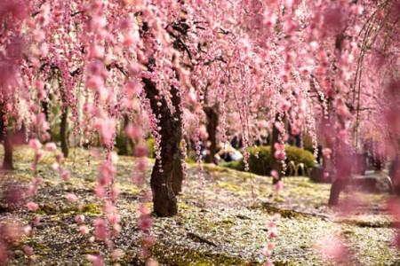 تصاویر شکوفههای گیلاس ژاپنی