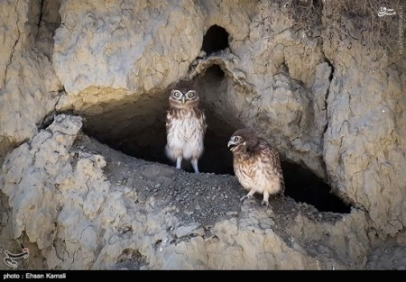 تصاویر جغد سنگی ایرانی
