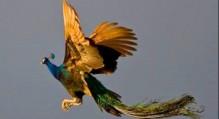 تاکنون پرواز طاووس را دیده اید