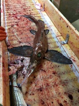 تصاویر کشف ماهی مرموز در یکی از جزایر کانادا