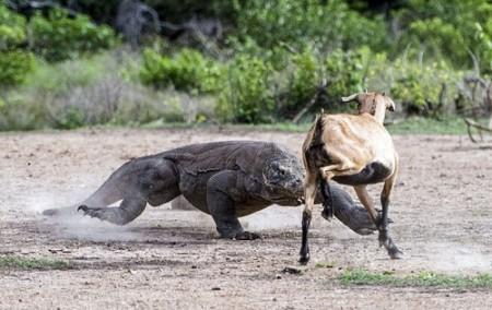 شکار بسیار حرفه ای اژدهای کومودو (+عکس)