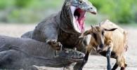 photo_professional_hunting_Komodo_dragon_tafrihi_com (3)