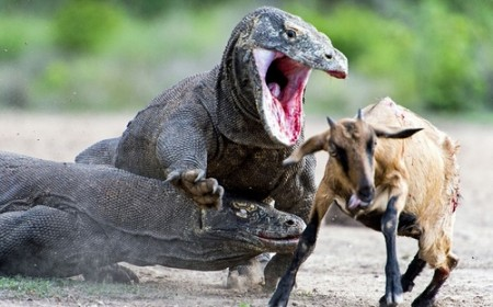 photo_professional_hunting_Komodo_dragon_tafrihi_com (3)