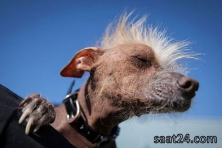 مسابقه زشت ترین سگ های دنیا (عکس)