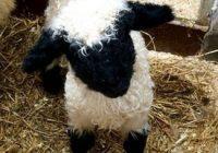 تصاویری از گوسفندهایی زیبا با ظاهری ترسناک