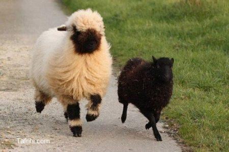 photo_the_sheep_are_cute_or_scary_tafrihi_com-2