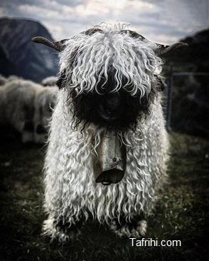 این گوسفندها زیبا هستند یا ترسناک؟ (+عکس)